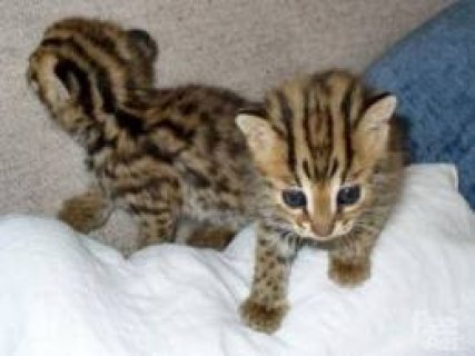 lovelysavanahl kitten for adoption.
