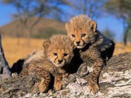 Gorgeous cheetah cub for free adoption