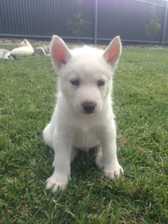 Three (3) Pure Bred Siberian Husky Puppies For Sale