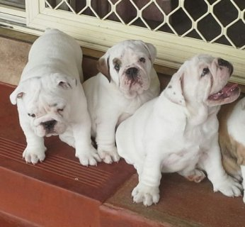 Purebred British Bulldogs