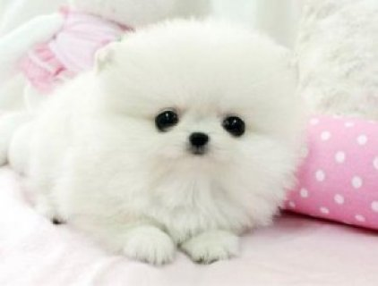 Tiny Teacup Pomeranian Puppies For Adoption12