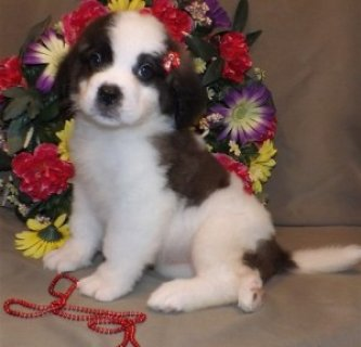Adorable Saint Bernard Puppies for Sale4