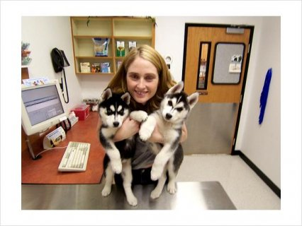 صور Male and Female Siberian Husky mixed Puppies For Adoption3 1