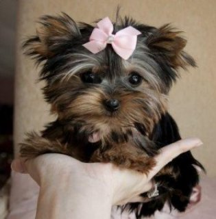 Teacup Yorkie Puppies5