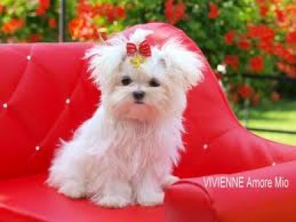 Adorable Maltese Puppies For Free Adoption98