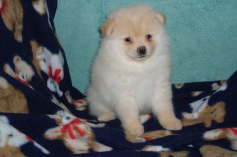 Pomeranian puppies for Adoption.65