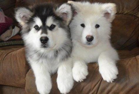 Alaskan Malamute puppies for adoption67