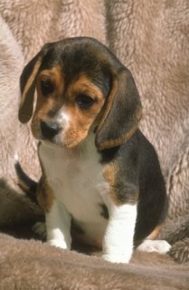 Beagle puppies for Adoption8