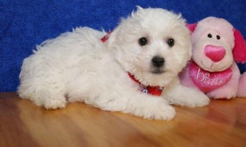 Bichon Frise puppies ready to go home897
