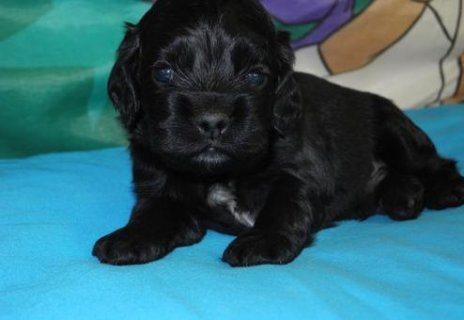 Male and Female Cocker Spaniel ready to go home	987