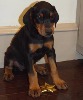 Doberman Pinscher puppies for Adoption78
