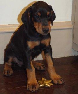 Doberman Pinscher puppies for Adoption78