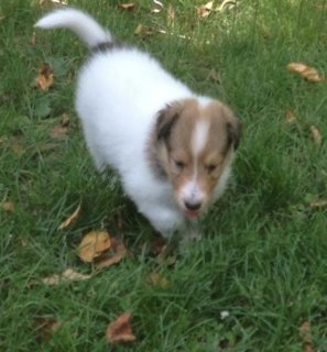 Border Collie puppies for Adoption3