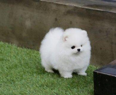 Friendly Teacup Pomeranian Puppies Adoption876