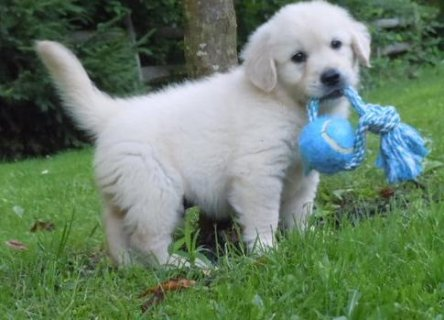 Golden Retriever Puppies for Sale	656