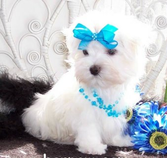 Adorable Maltese puppies for Adoption65