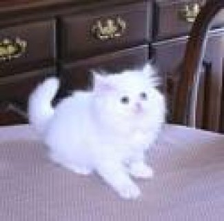 White & Solid colored Persian Kittens For adoption