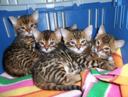 Adorable Bengal Kittens for Adoption.e