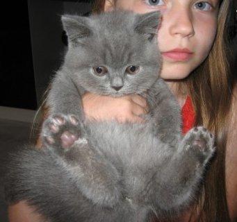 British Short Hair Kittens for Adoption23