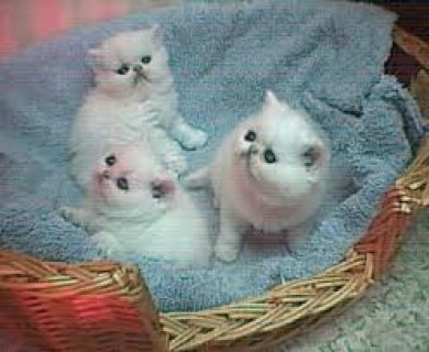 Persian kittens for sale3