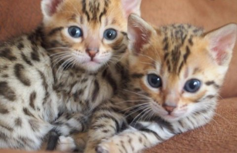 BENGAL KITTENS AVAILABLE7