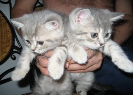 صور British Short-haired Kittens seeking good homese45 1