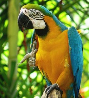 Blue & Gold Macaw4