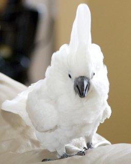 Cockatoo parrots for adoptionet
