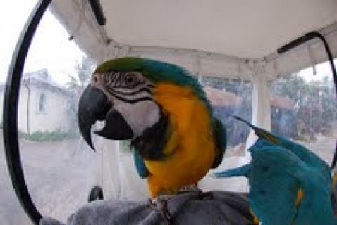 Blue and Gold Macaw Parrots out for adoptiong