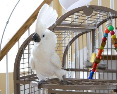 Cockatoo parrots for adoptionw