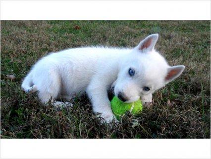 Purebred S.i.b.e.r.i..an H.u.s.k.y Puppies - AKC Registered