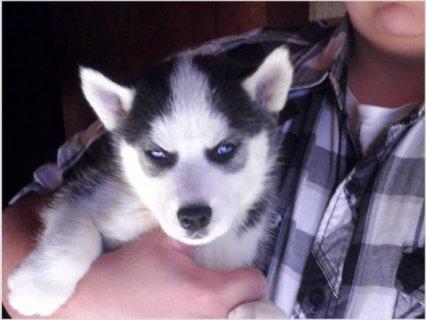 Siberian Husky Pups1