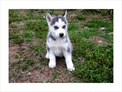Siberian Husky Pupppies For Sale!!!2