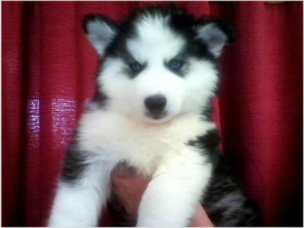 Pretty Blue Eyes Siberian Husky Male & Female Puppiest