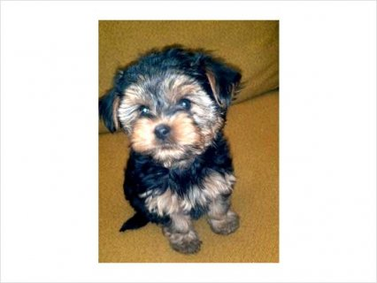 Yorkie puppies for good home5