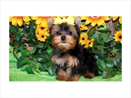 Precious Yorkie puppies available098