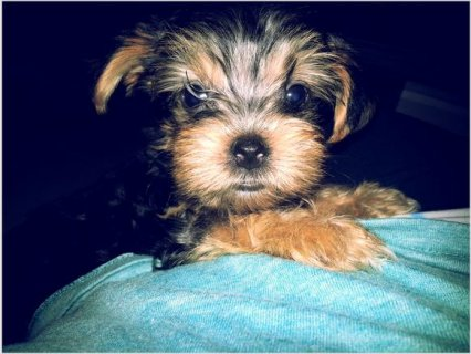 Gorgeous YORKIE PUPPIES23