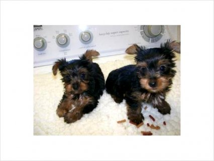 2Gorgeous Little Face Tiny Body Yorkie puppies