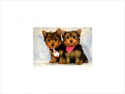 Adorable AKC Registered Yorkie Puppies897