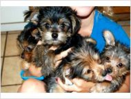 Family raised Party Yorkie puppies32