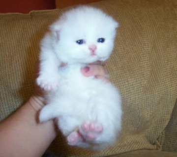Cute White Persian female kitten for adoption7