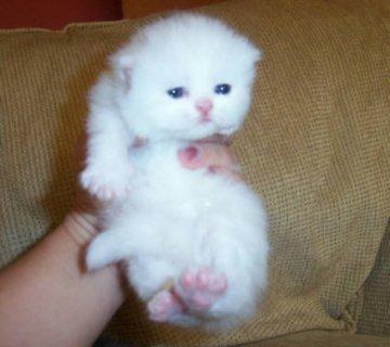 Cute White Persian female kitten for adoption7
