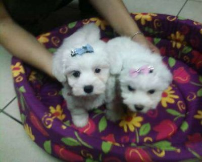 Teacup maltese puppies for rehoming65