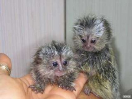 Finger babies marmoset and capuchin monkeys for adoption,..76