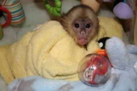 Beautiful Female Capuchin Monkey for Sale