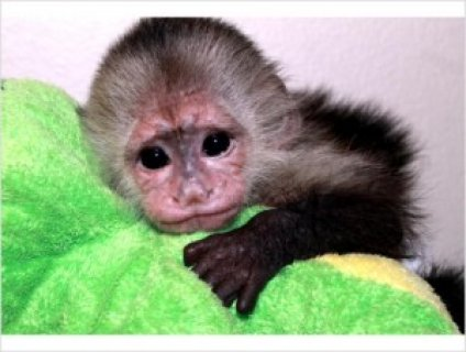 Capuchin Monkeys For Sale68