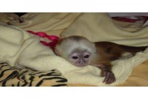 Cute Capuchin Monkey for Sale1