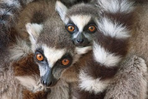 Lemur Monkeys for Sale