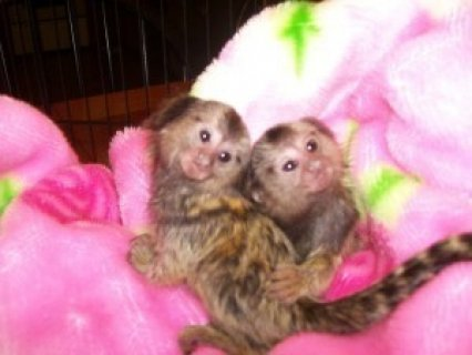 Pygmy Marmoset Monkeys for saler