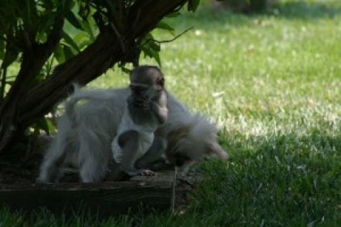 Intelligent Capuchin Monkey for Sale5
